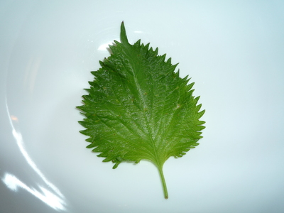 Ingredient in the spotlight-shiso single leaf